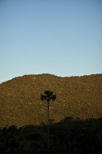 Palmeira de buriti